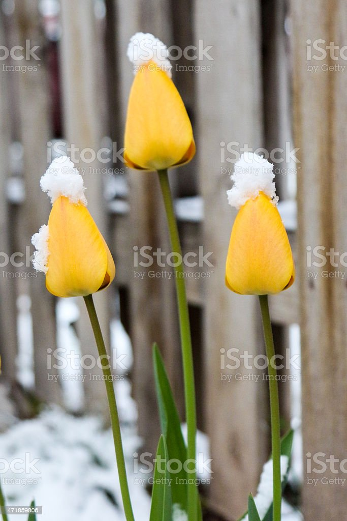 Three bright yellow tulips topped with snow stock photo