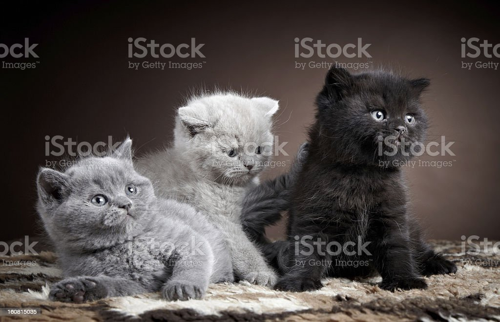 three british short hair kittens royalty-free stock photo