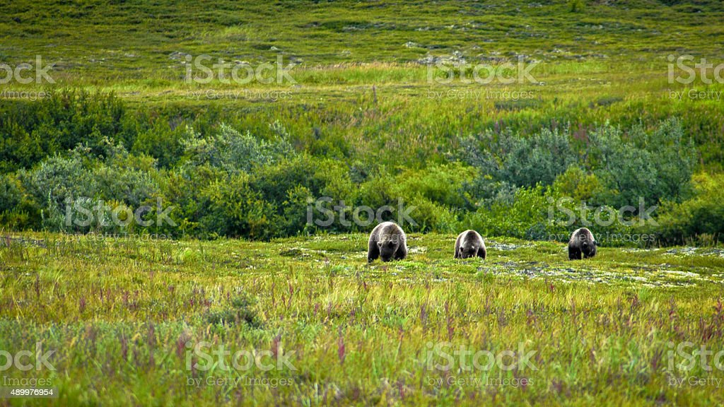 Three brown bears stock photo