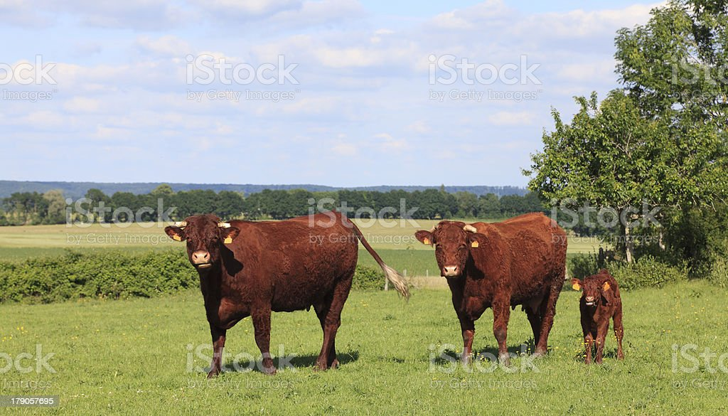 Three brown cows in Normandy walking in grasslands royalty-free stock photo