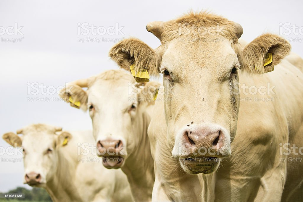 Three brown cows royalty-free stock photo