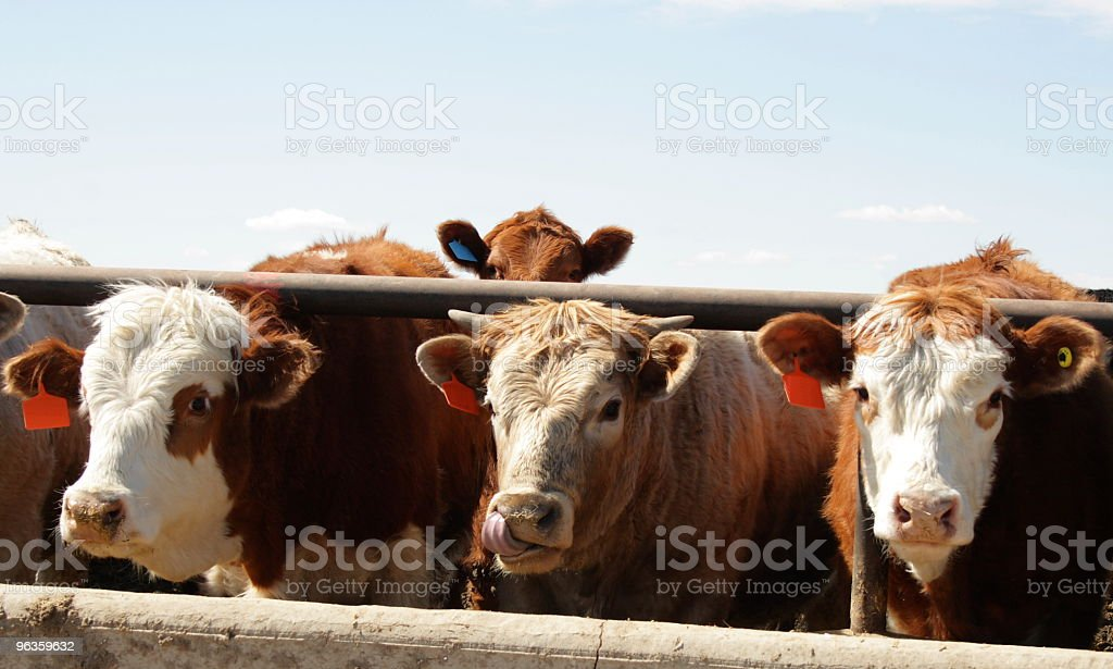 Three brown cows with one licking nose stock photo