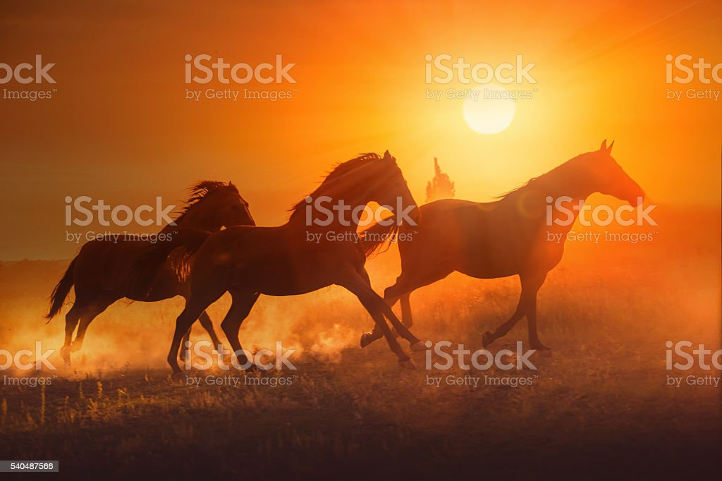 Three brown horse run on the sunset background stock photo