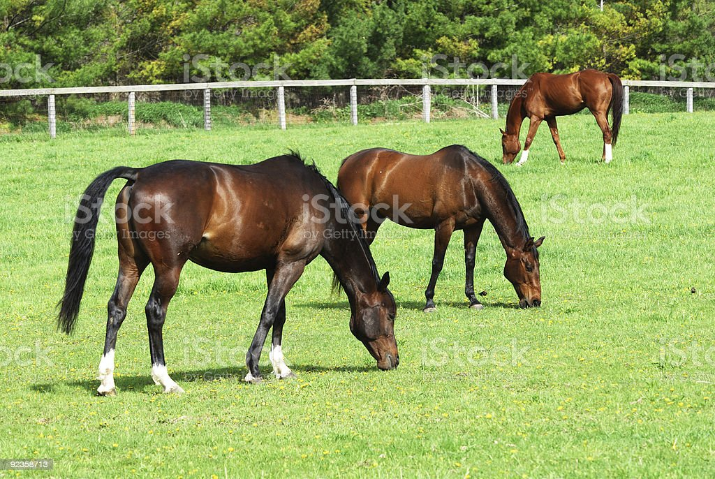 Three Brown Horses Grazing stock photo