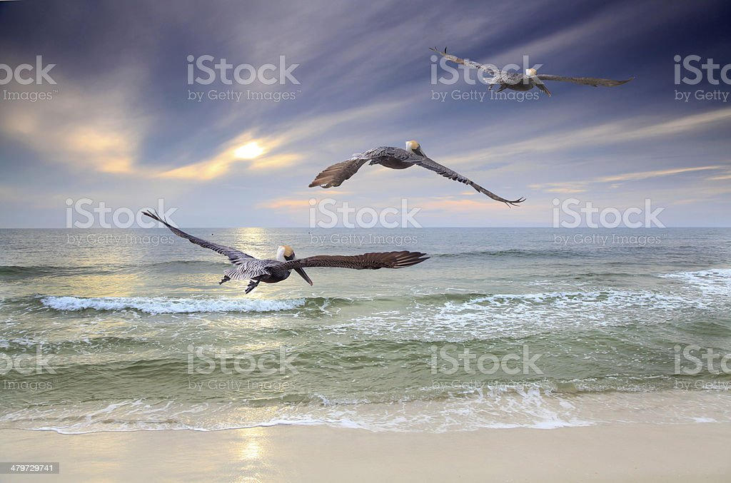 Three Brown Pelican Fly Toward the Sunset stock photo