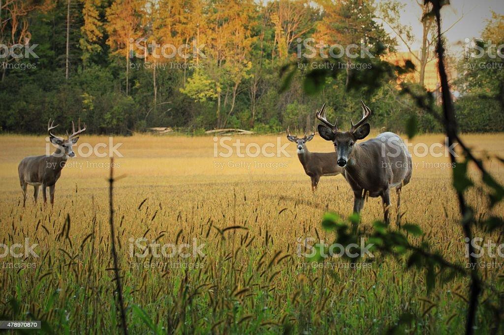 Three Bucks in Autumn stock photo