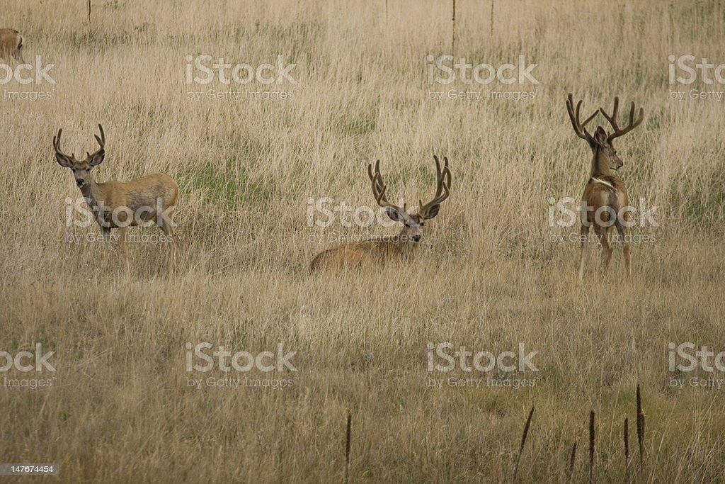 Three Bucks royalty-free stock photo