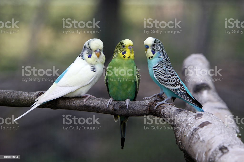 Three budgies on a branch stock photo