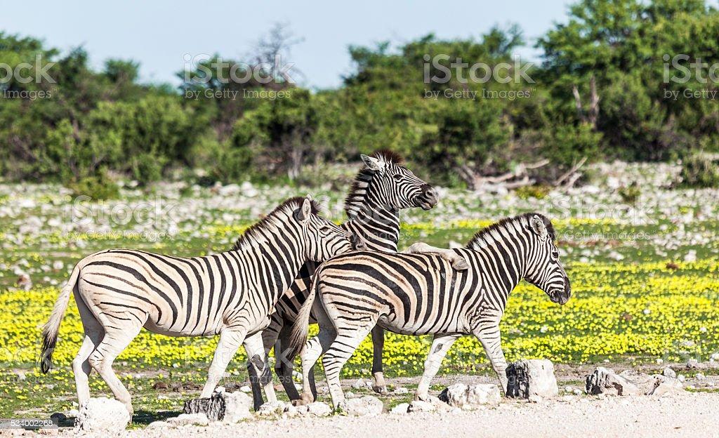 Three Burchell's Zebras, one leg on top of shoulder; Etosha_N.P. stock photo