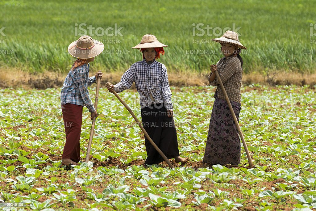 Three Burmese women weeding in a field stock photo