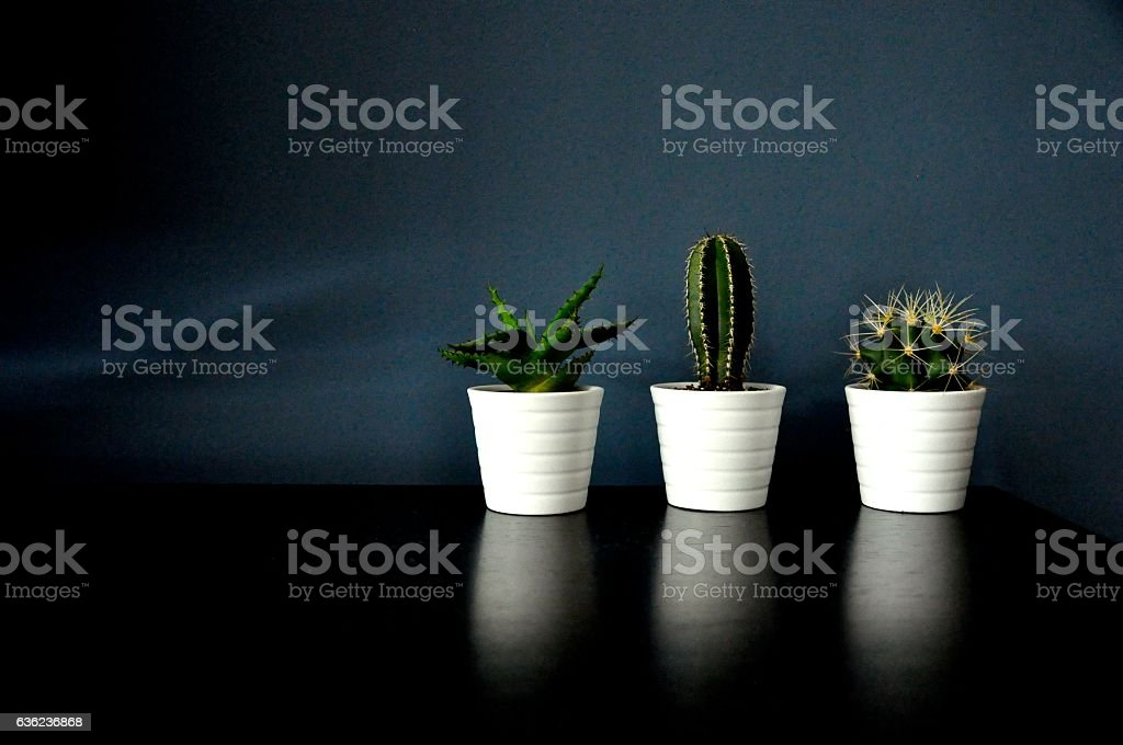 Three Cacti stock photo