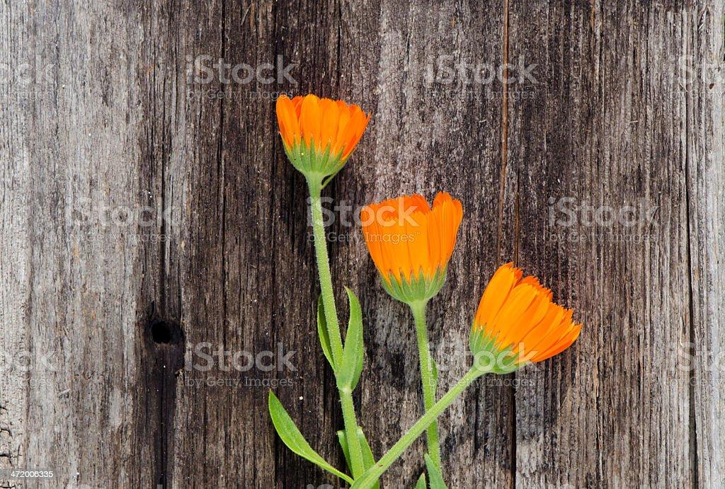 three calendula marigold flowers on old wooden plank stock photo
