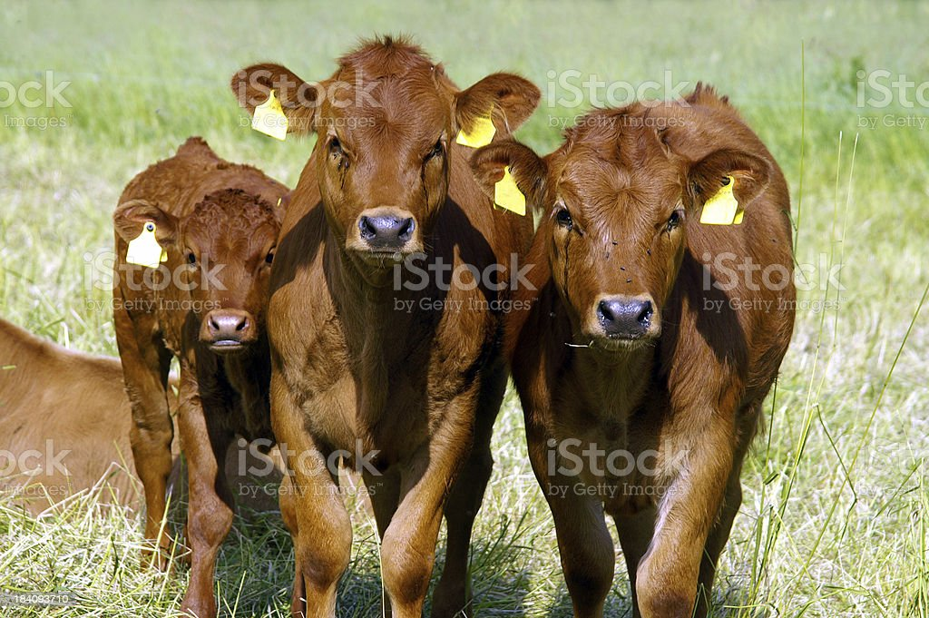 Three calves stock photo