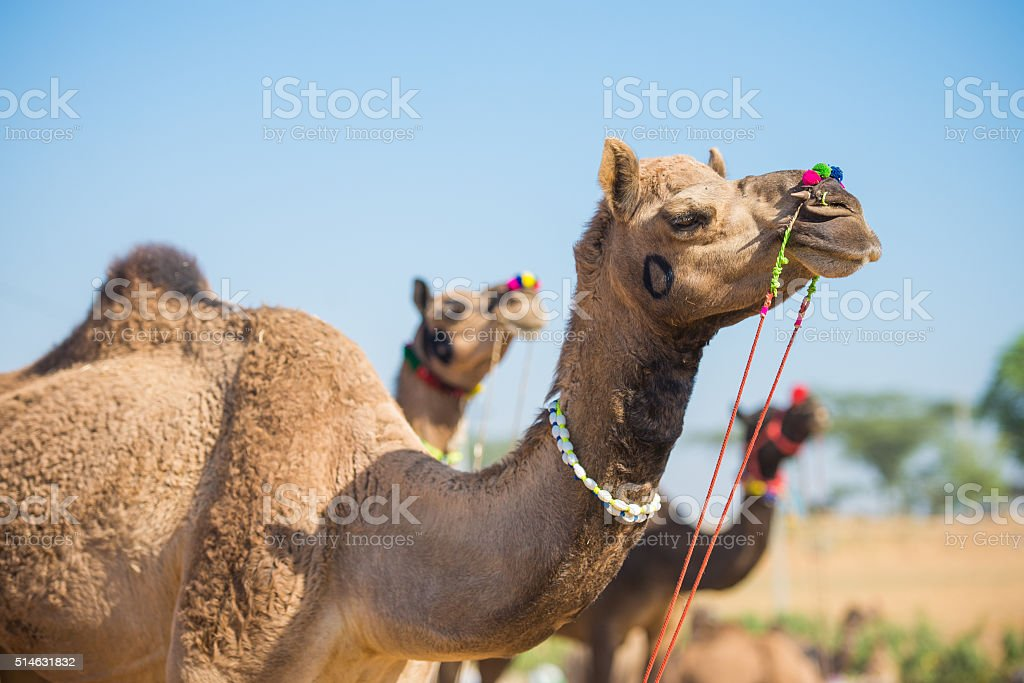 Three Camels at Pushkar Camel Fair stock photo