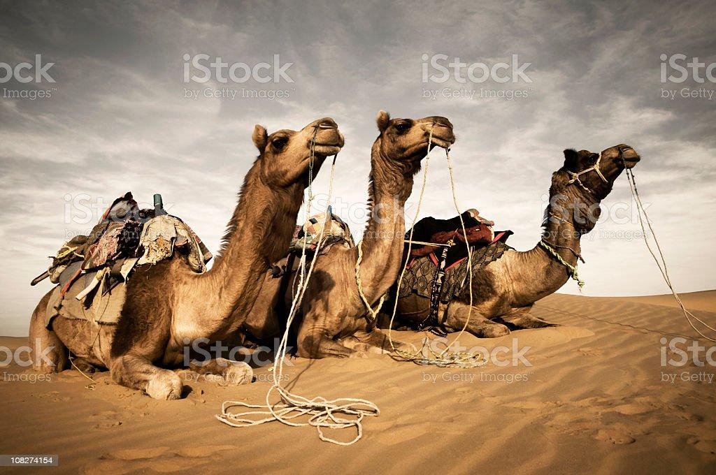 Three Camel's in Desert stock photo