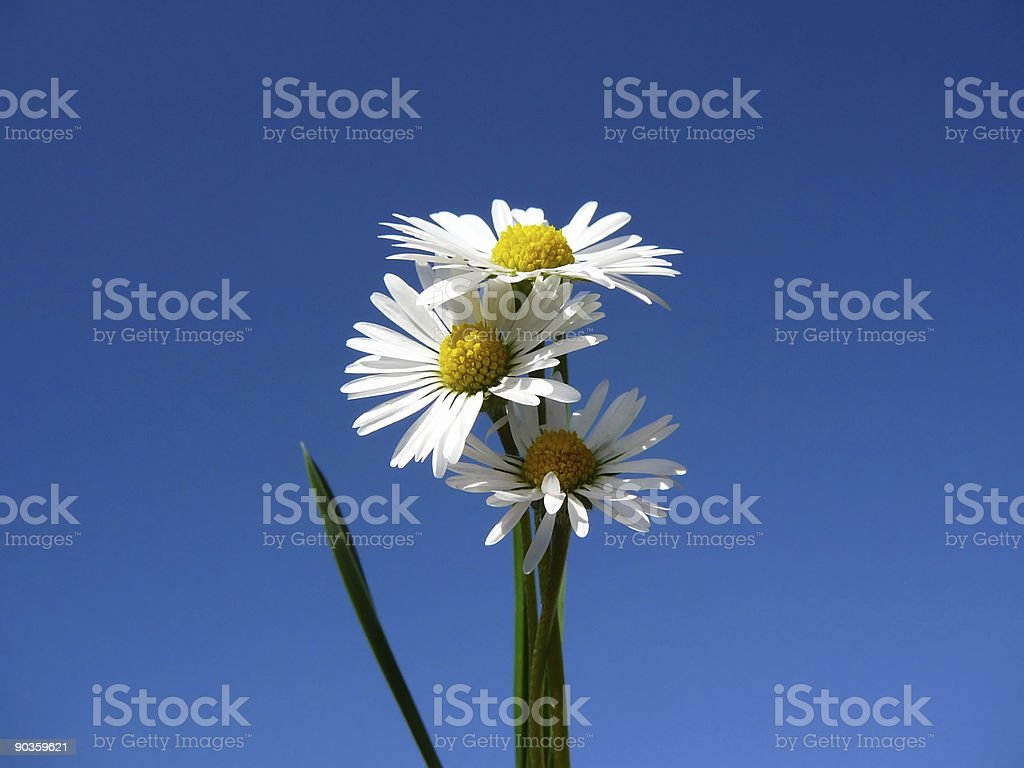 Three camomiles royalty-free stock photo