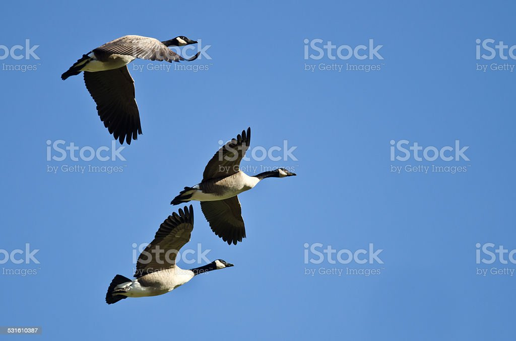 Three Canada Geese Flying in a Blue Sky stock photo