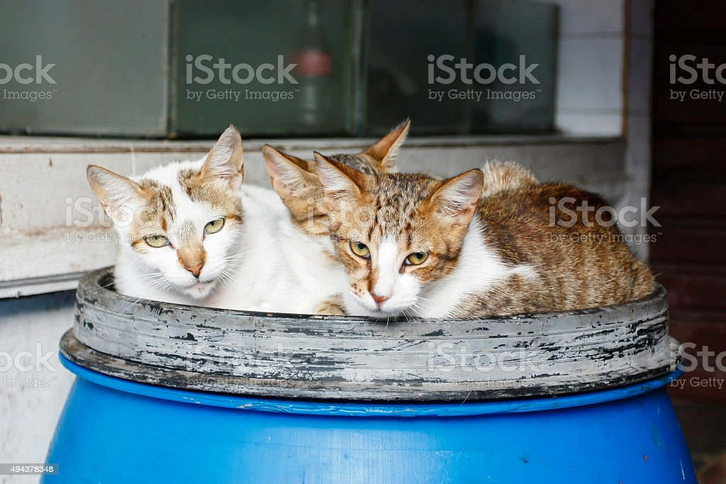 Three cats on a can of blue stock photo