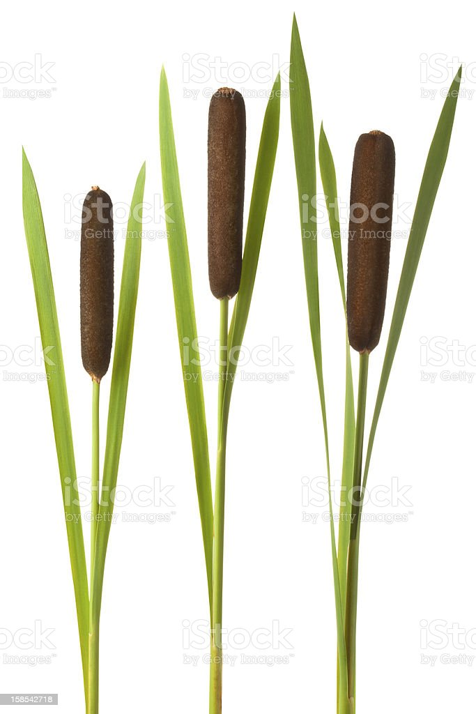 Three cattail stalks with cobs stock photo