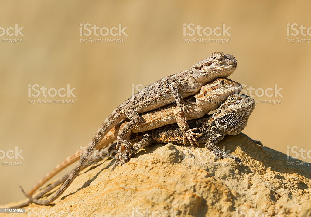Three central bearded dragons stock photo