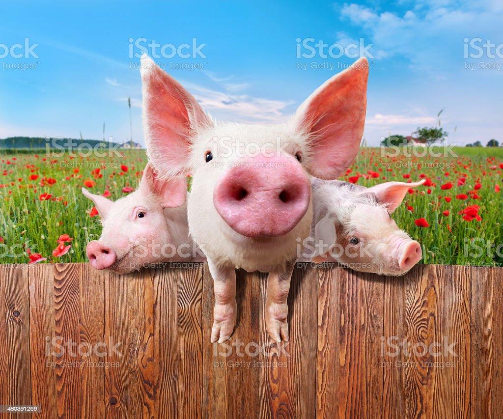 Three charming pigs from wonderful farm. stock photo