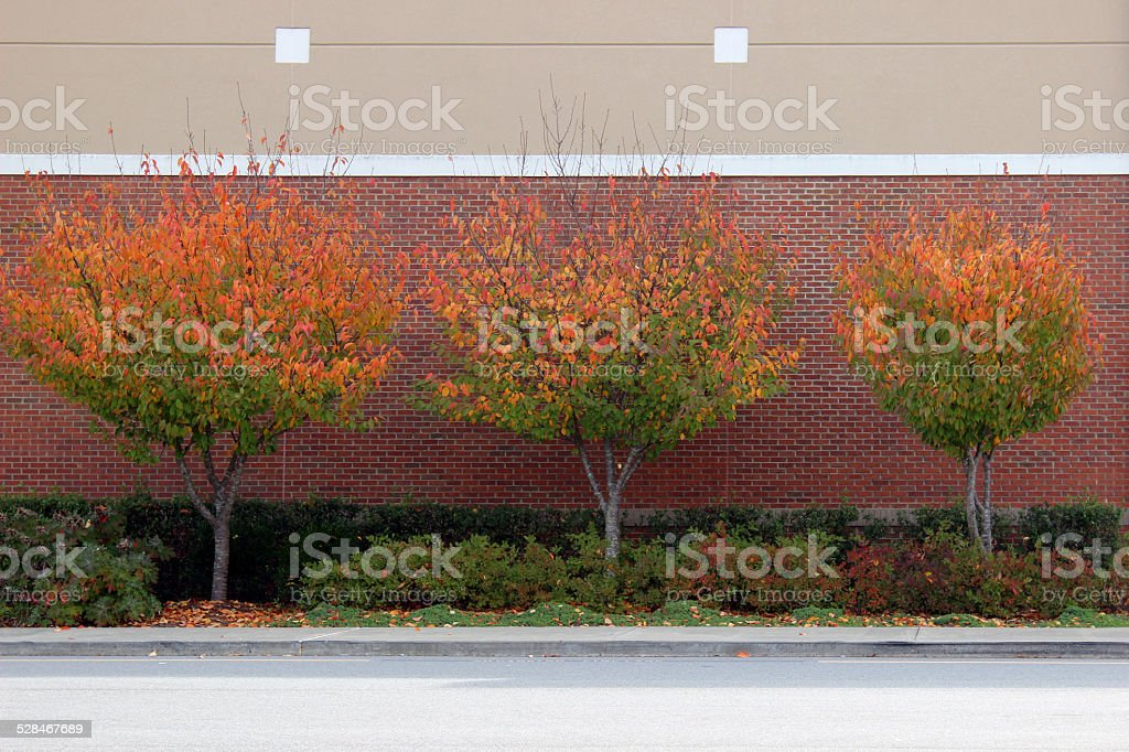 Three Cherry Trees in front of Brick Wall stock photo