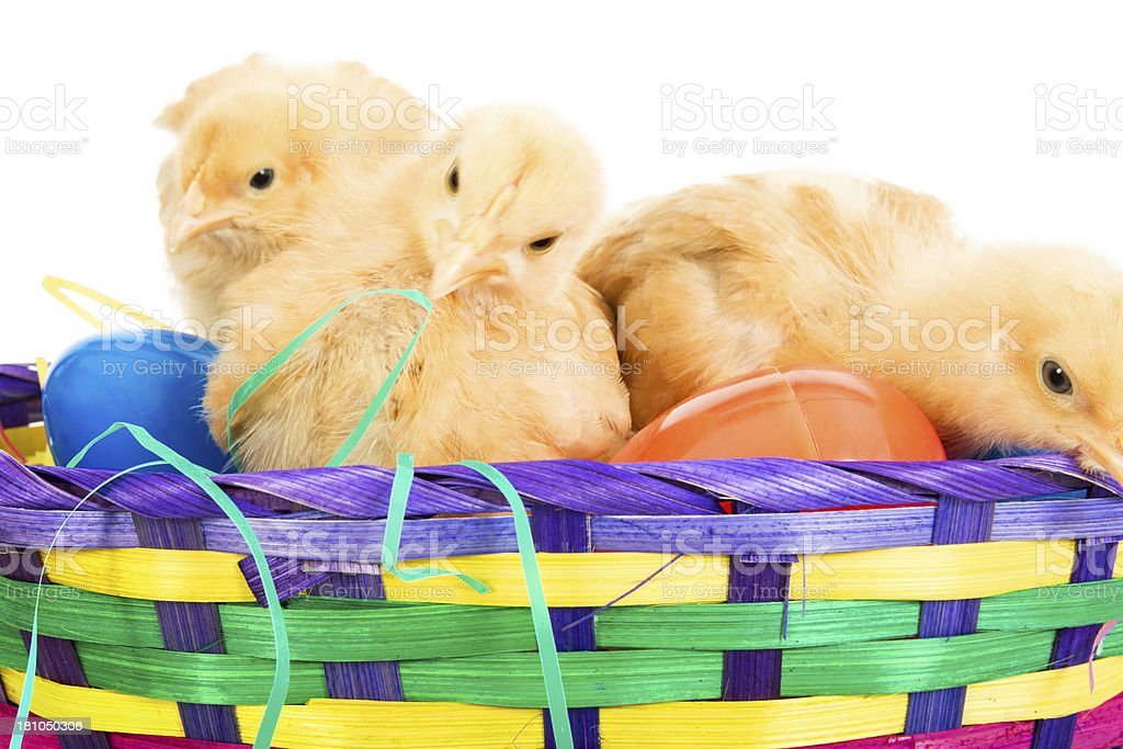 Three chicks in an Easter basket royalty-free stock photo