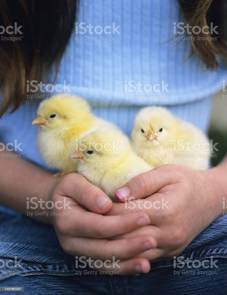 Three Chicks royalty-free stock photo
