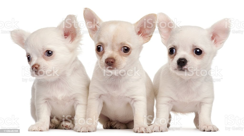 Three Chihuahua puppies, 2 months old, white background. stock photo