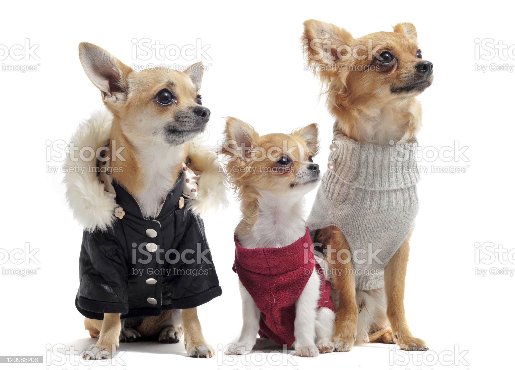 three chihuahuas royalty-free stock photo