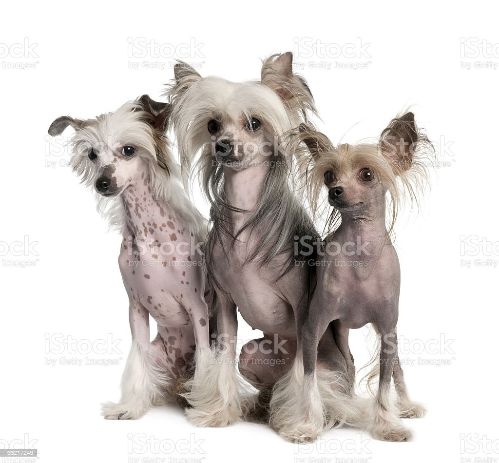 Three Chinese Crested Dog - Hairless (3 years old) royalty-free stock photo