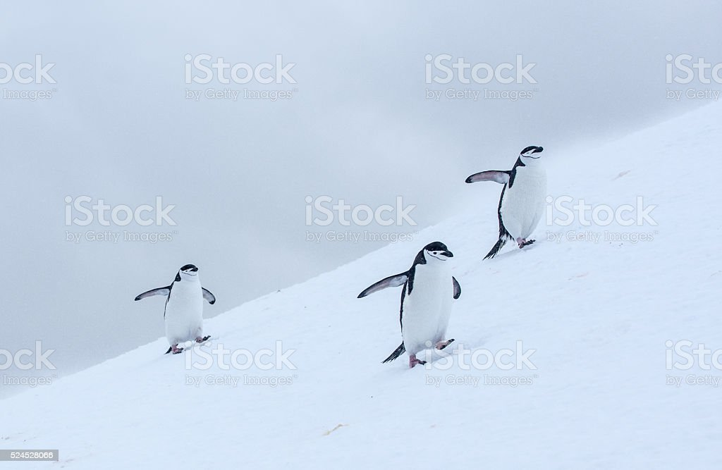 Three Chinstrap penguins walking in snow in Antarticta stock photo