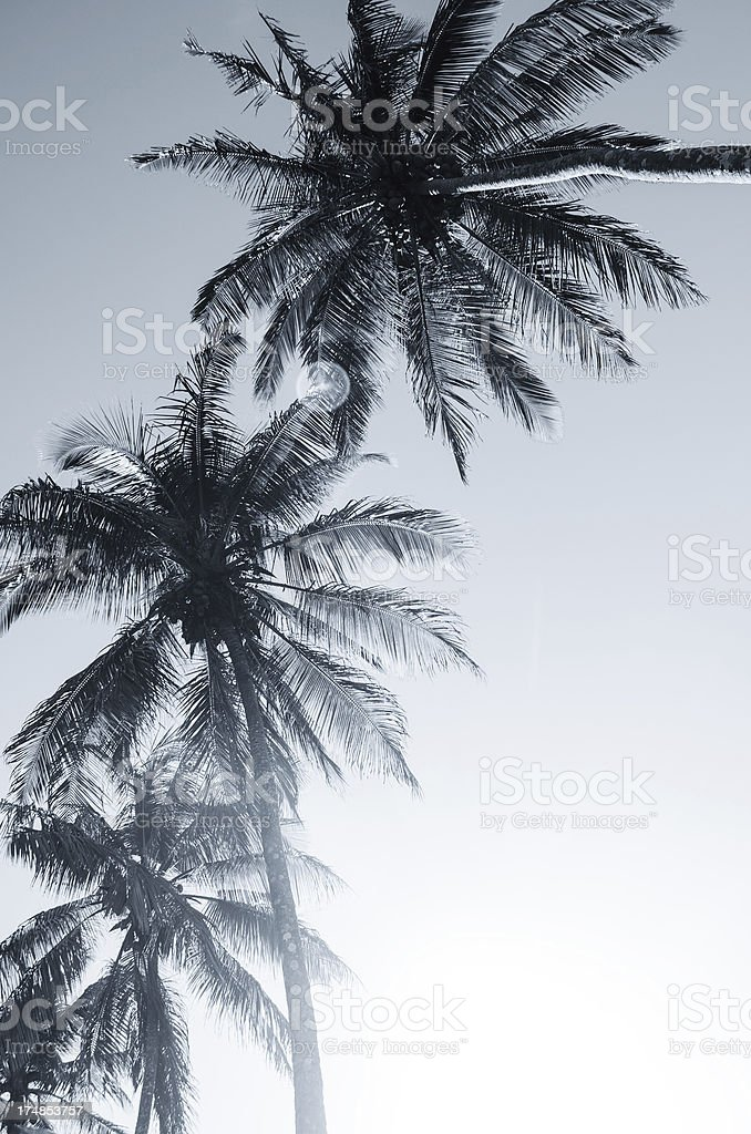 three coconut palm trees royalty-free stock photo