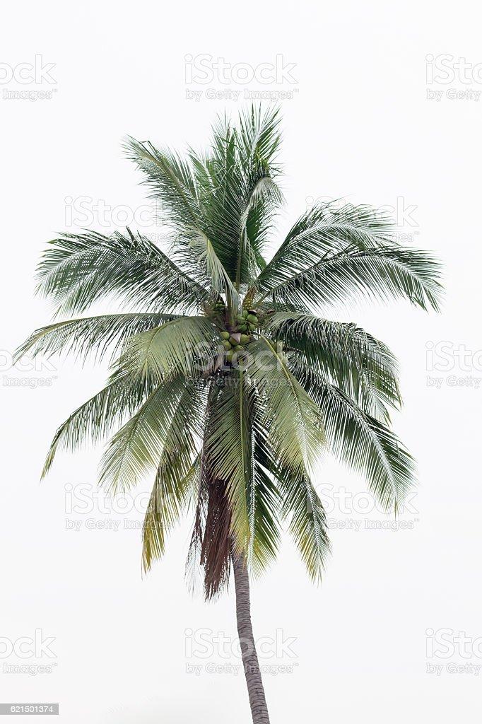 Three coconut stock photo