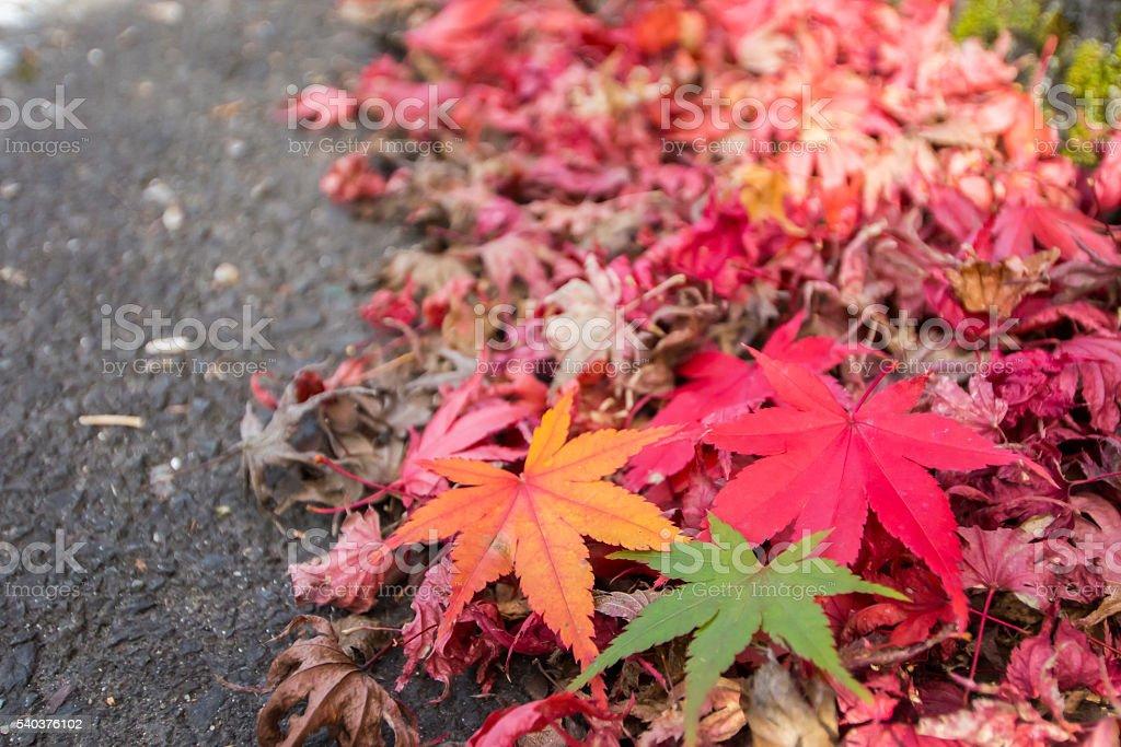Three Color Maple stock photo