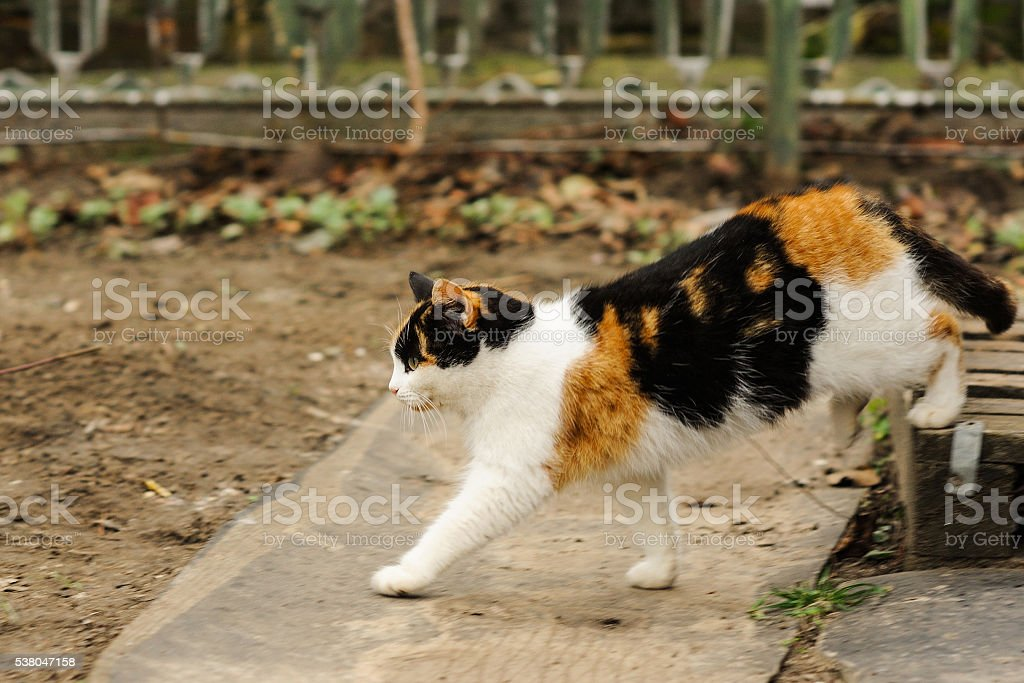 Three colored fluffy cat walking on the street stock photo