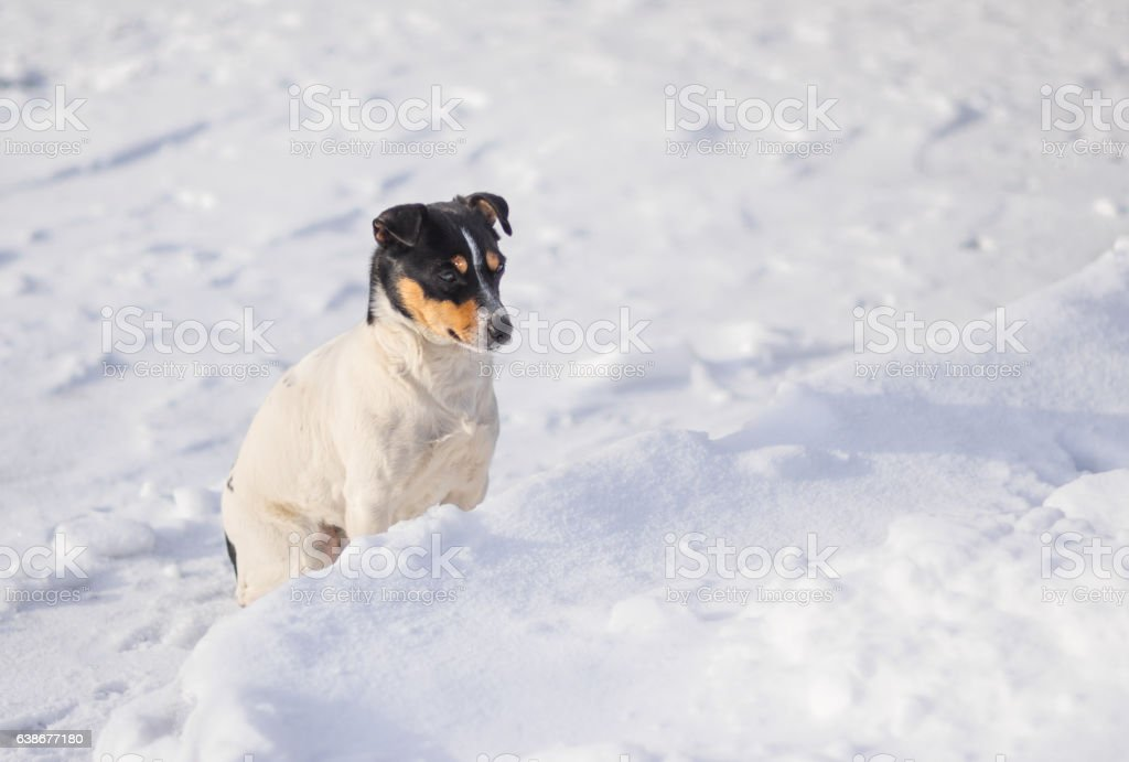 Three colored Jack Russell Terrier sitting on a fresh snow stock photo