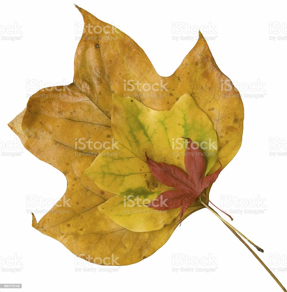 Three coloured leaves royalty-free stock photo
