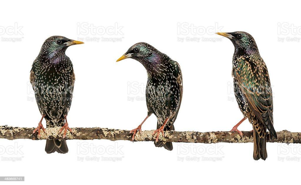 Three Common Starlings, Sturnus vulgaris, perched on a branch stock photo
