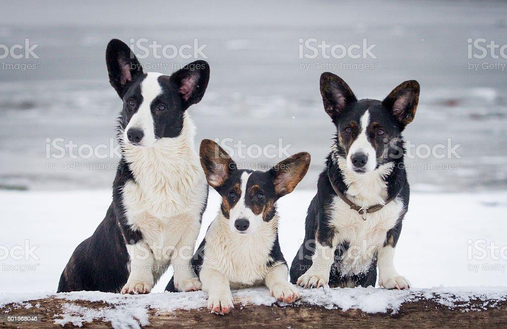 Three corgis on the shore royalty-free stock photo