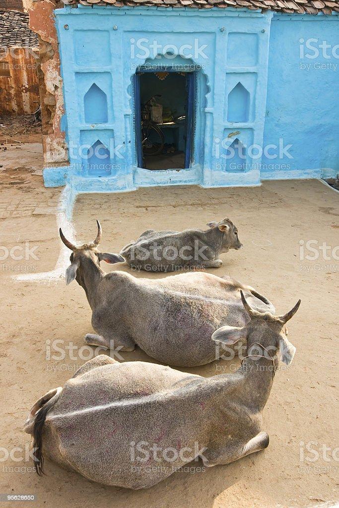 Drei Kuh in Orcha, Indien. – Foto