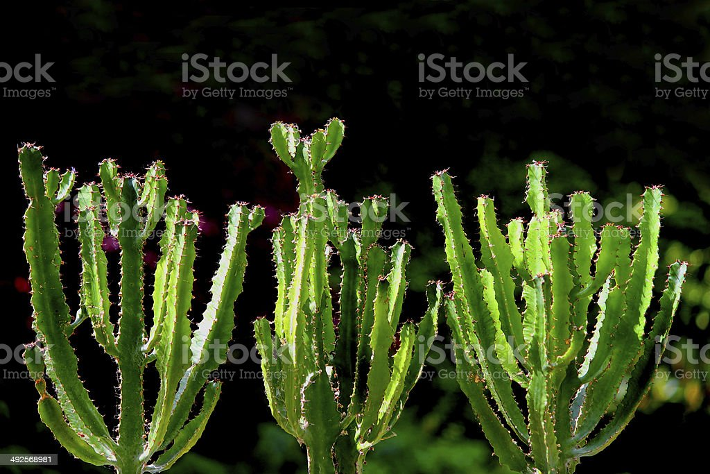 Three cowboy cactus plants (cacti) with thorns, in desert gardens royalty-free stock photo