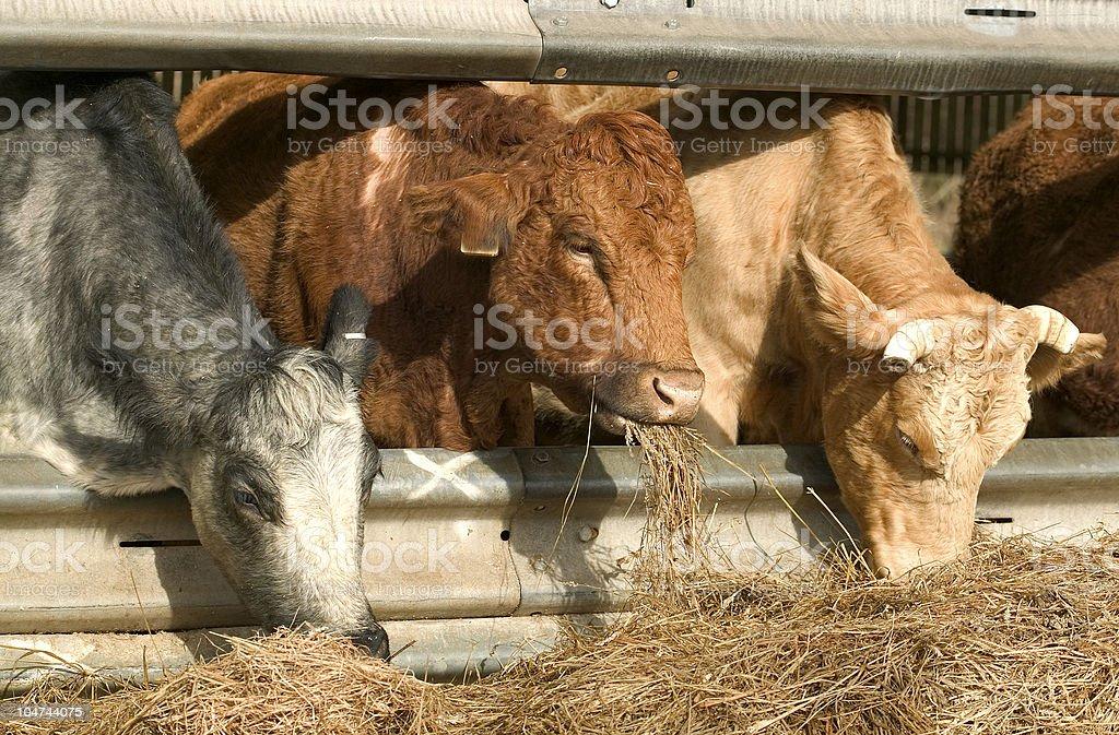Three cows eating royalty-free stock photo