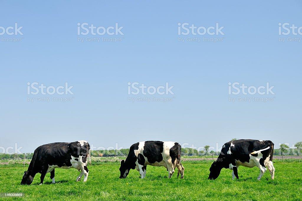 Three cows grazing in pasture stock photo