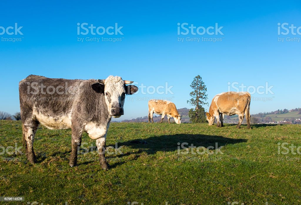 Three Cows Grazing Outdoors stock photo