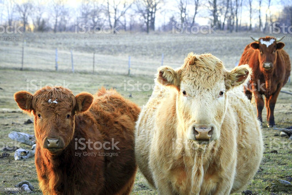 Three cows in a field looking at us royalty-free stock photo