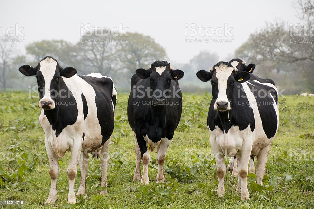 Three Cows In A Field stock photo