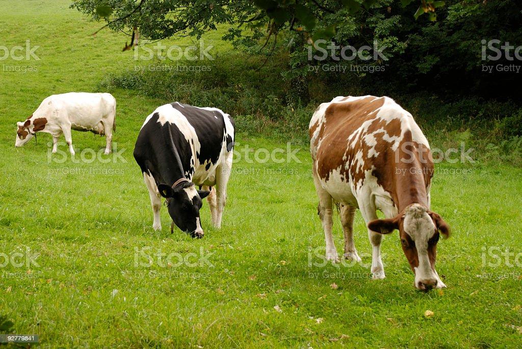 Three cows in green pasture, Switzerland stock photo