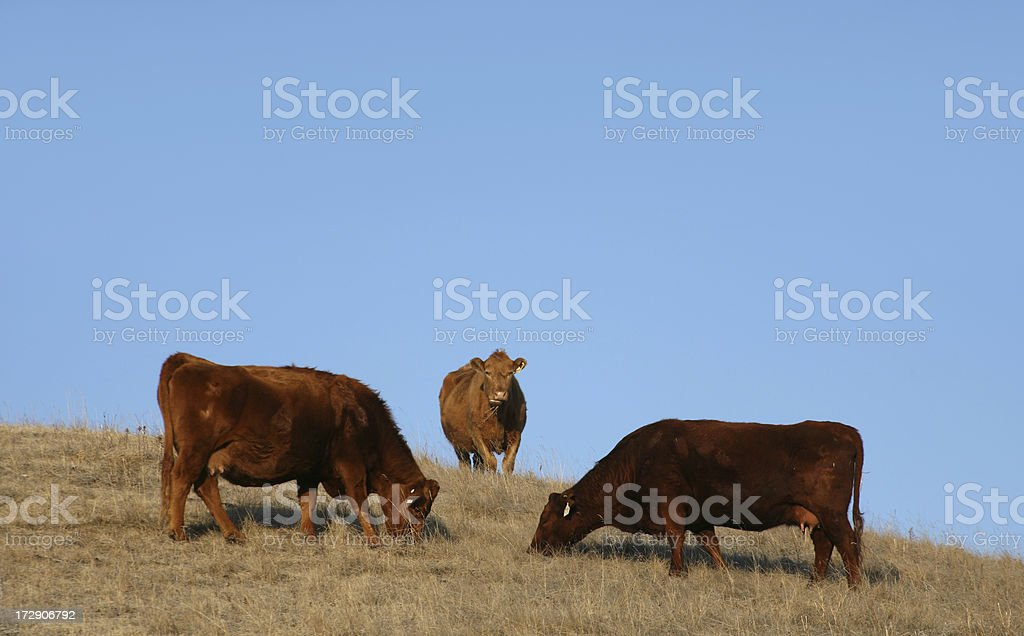 Three Cows royalty-free stock photo