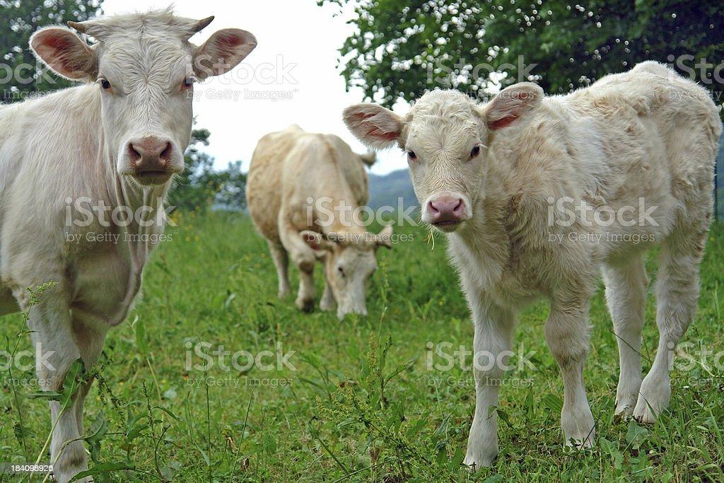 Three cows royalty-free stock photo
